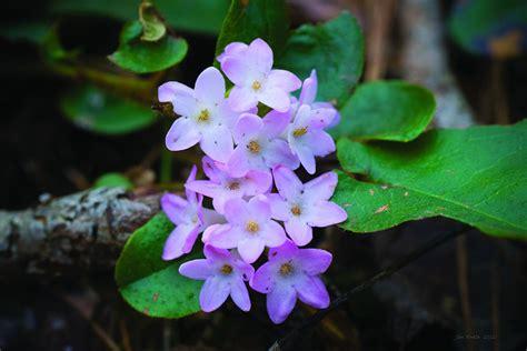 official state flowers massachusetts state flower mayflower