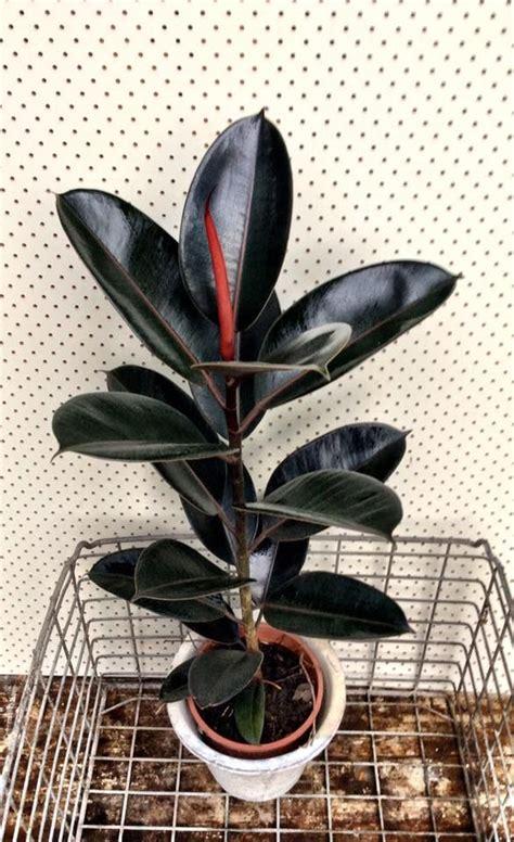 ficus elastica burgundy ficus elastica house plants