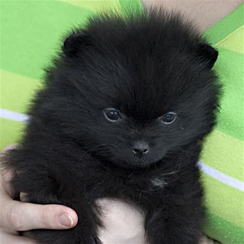 black and pomeranian puppy dogs black and white pomeranian puppies