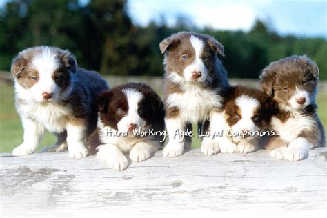 border collie puppies michigan brucker creek border collies michigan breeder border collie puppies mi