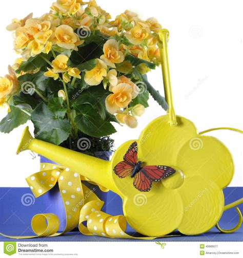 beautiful gifts of springtime beautiful yellow begonia potted plant gift with yellow