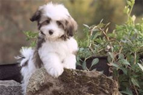 dogs that are easy to house train hypoallergenic dog breed on pinterest small hypoallergenic dogs best small dogs and