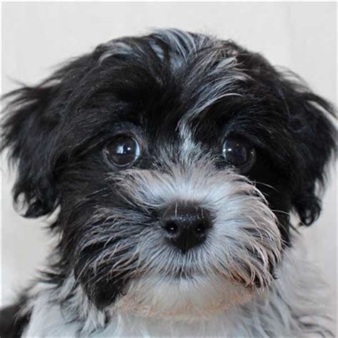 havanese florida havanese puppy for sale in boca raton south florida