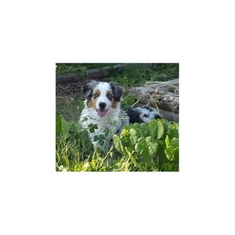 breeders in missouri australian shepherd aussie breeders in missouri freedoglistings