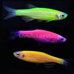 glofish colors ethics of glofish genetically modified neon fish