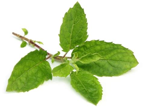Tulsi Basil For by 15 Amazing Benefits Of Holy Basil Tulsi Organic Facts