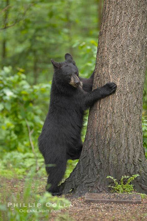 black bear walking   forest ursus americanus photo orr minnesota