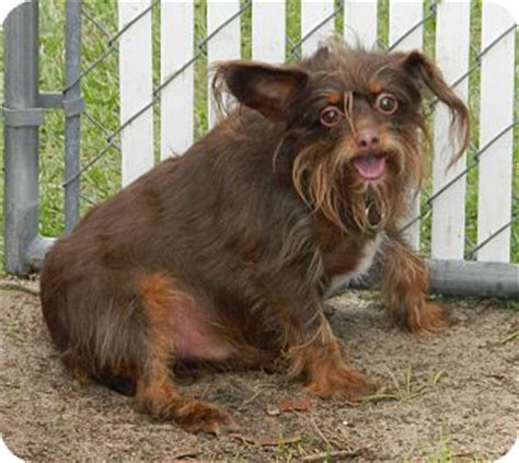 overweight yorkie leroy adopted umatilla fl yorkie terrier chihuahua mix