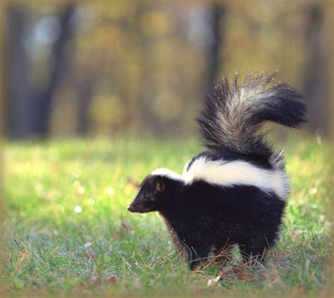 how do you get rid of skunks in your backyard skunks how to identify and get rid of skunks in the