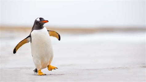 8 Facts On Penguins by 20 Black And White Facts About Penguins Mental Floss