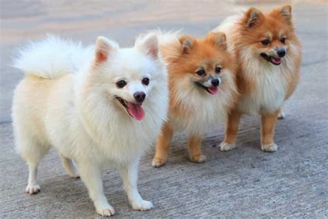 types of small dogs best of small breeds images breeders guide