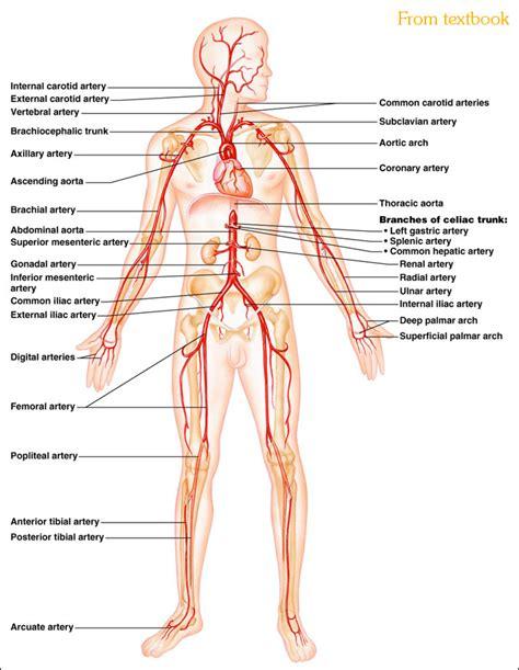 diagram of arteries artery diagram new calendar template site