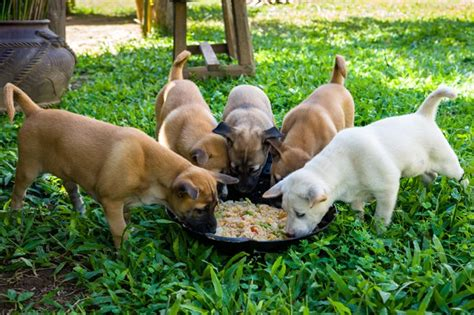feeding puppies feeding a puppy a complete guide dogtime