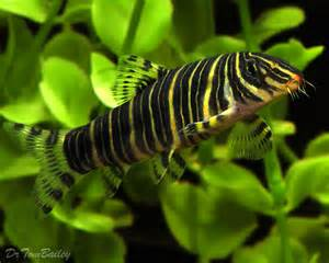 Photos   Loach Fish In The Beauty Nature Aquarium Hd Wallpapers Fish