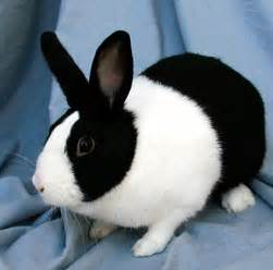 rabbit colors rabbit rabbit for sale rabbit color