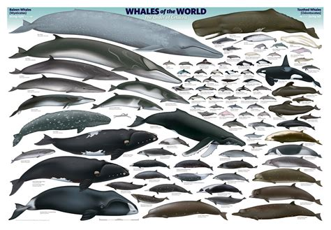 World S Whale Retailer Ends All Whale - when marine reptiles ruled the sea ichthyosaur