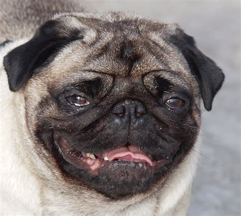 20 year pug pug pictures on animal picture society
