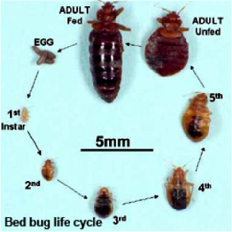bed bug reproduction rate bed bug resources information and faq s you kill bed bugs ltd