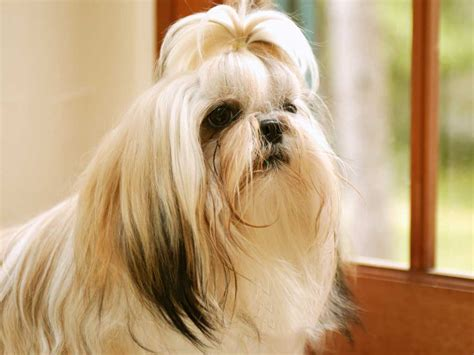 shih tzu ponytail shih tzu wallpapers wallpaper cave