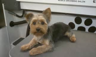 before and after terriers hair cut club doggie mobile grooming salon before and after photo