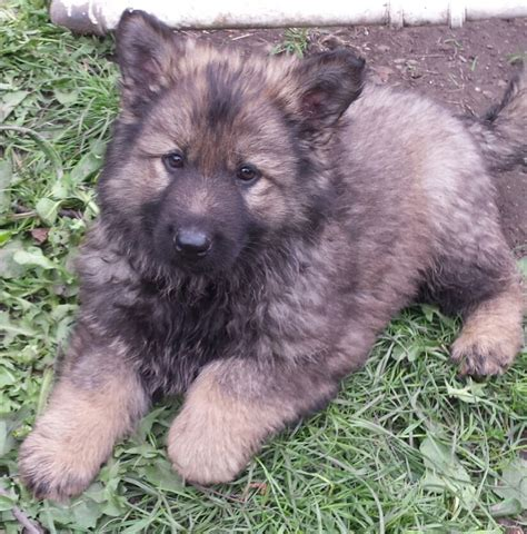 shepherd puppies for sale german shepherd puppies for sale ready now bradford west pets4homes