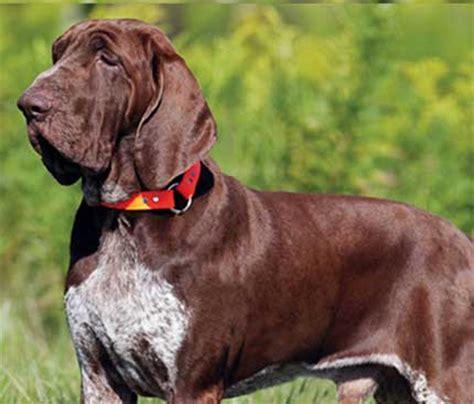 italian setter dog bracco italiano dog breed