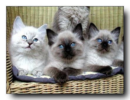 Gats Zu 0005 els quatre gats criadores de gatos ragdoll nuestros