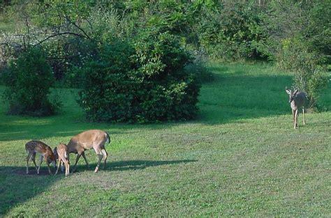 deer in backyard backyard deer pictures