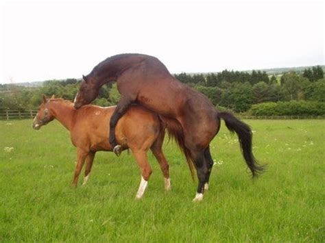 breeding horses mares stallion horse mating with two mares