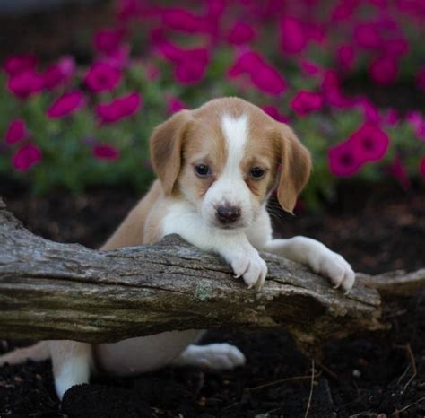 puppies in pennsylvania breeders in pennsylvania breeds picture