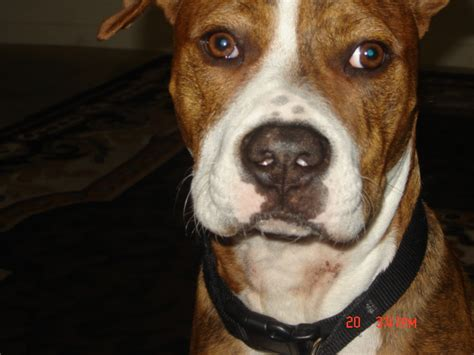 which is more dangerous rottweiler or pitbull pitbull or rottweiler which is more dangerous pets nigeria