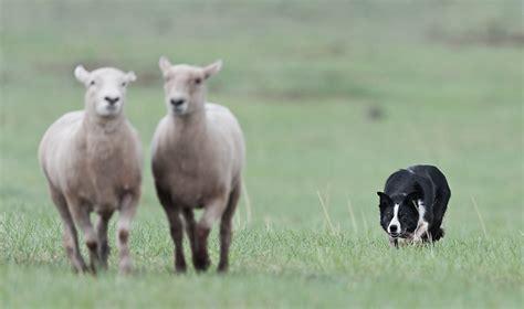 herding dog   dog people