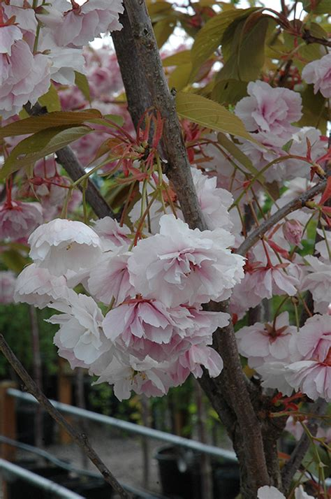 shirofugen flowering cherry prunus serrulata shirofugen