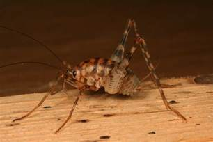 orthoptera what s bugging you