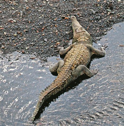 el cocodrilo al que cocodrilo de tumbes ciencias pe