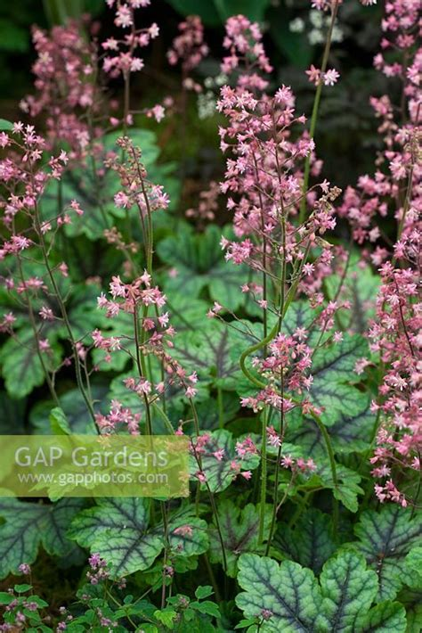 hardys cottage garden plants gap gardens heuchera tapestry hardys cottage garden