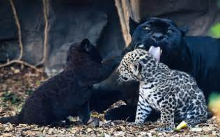 Jaguars And Panthers Babies And Beautiful Baby Black Panther