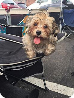 havanese rescue pa bandit adopted puppy pittsburgh pa havanese