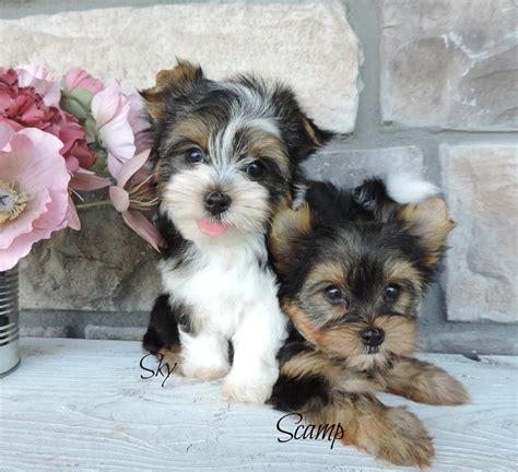 contented puppies paradise contented puppies paradise yorkie maltese morkie puppies for sale