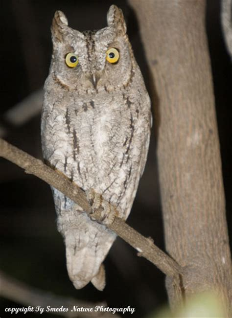 scopes owl chobe national park botswana