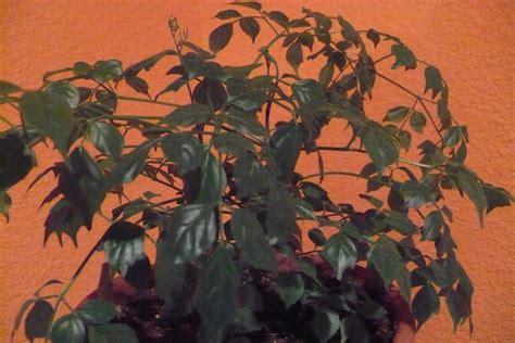 china doll houseplant pruning a china doll houseplant learn how to prune a