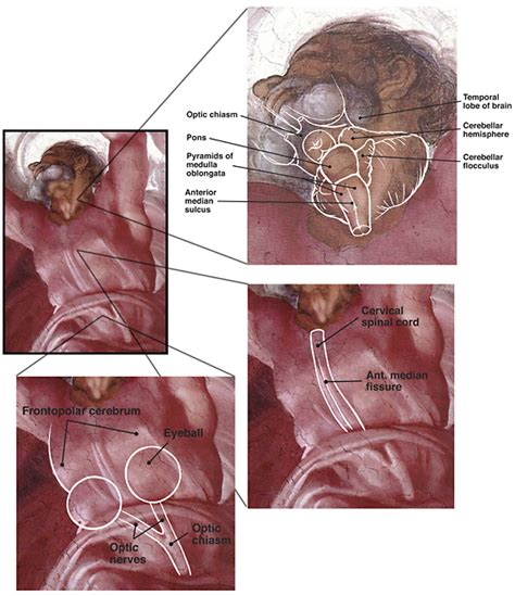 Separation Of Light From Darkness by File Michelangelo Neuroanatomy Jpg Wikimedia Commons