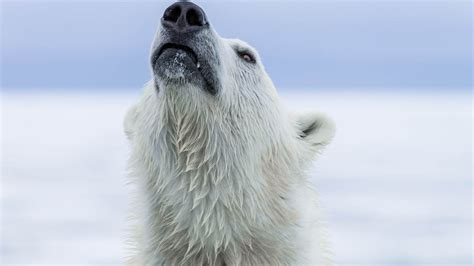 the polar bear explorers 0571332544 luxury svalbard holidays natural world safaris
