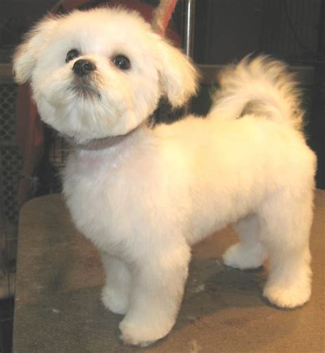 what is the best cut for a malti poo maltese grooming styles google search puppy biscuit