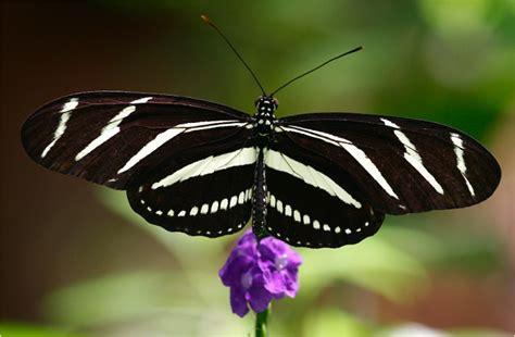 imagenes mariposas mas bonitas mundo las 10 mariposas m 225 s sorprendentes y bellas del mundo