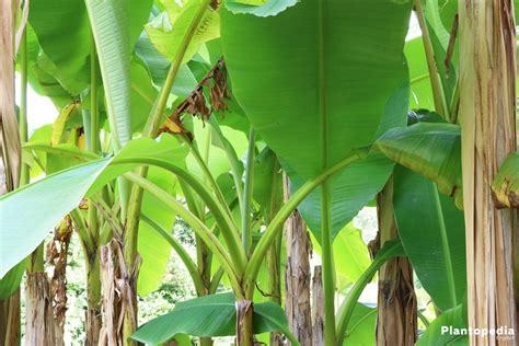 tiny musa banana tree 100 tiny musa banana tree 9greenbox truly tiny tiny musa banana tree 4 buy
