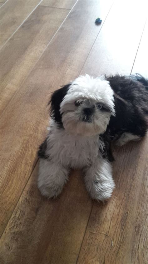 shih tzu imperial type imperial shih tzu middlesbrough pets4homes