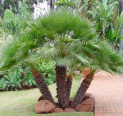 chamaerops humilis mediterranean fan palm european fan palm chamaerops humilis palms hardy in