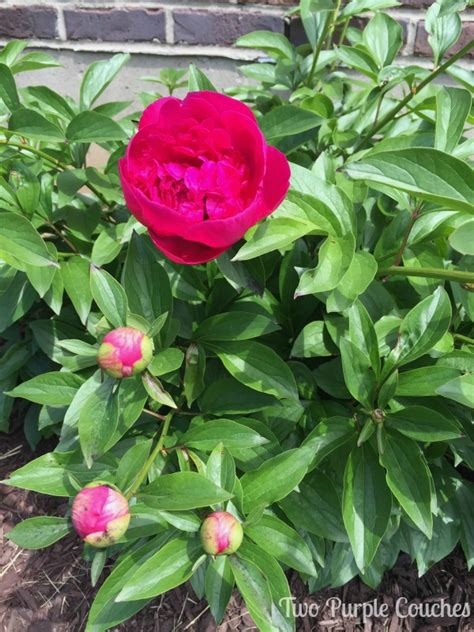 peony tours summer 2016 garden tour blog hop two purple couches