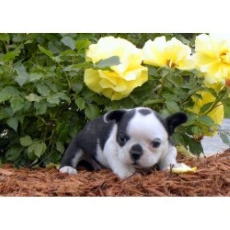 frenchton puppies for sale in va frenchton breeders in breeds picture